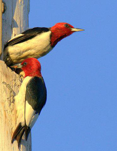 These rare Red Headed woodpeckers were spotted near the 17th hole.